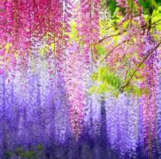 planting wisteria in a pot purple wisteria vine seed garden potted flower seed pot