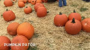 Pumpkin Picking Maryland by Pumpkin Picking Queens Farm Ny Youtube