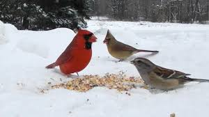 Backyard Bird Watching - Northeast Ohio - High Definition HD - YouTube The Joy Of Bird Feeding Essential Guide To Attracting And Birders Break Records For Great Backyard Count Michigan Radio New Guides Backyard Birding Add Birders Joyment Aerial Birds Socks Absolute Birding Co East Petersburg Shopping Authentic Common Redpoll Photosgreat South 100 Watcher Attract To Your Best 25 Watching Ideas On Pinterest Pretty Birds In Burlington Vermont Photos In Winter Get Ready For Photo 20 Best Birdfeeders Images Feeding Station