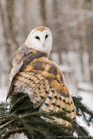 Dreaming Of A White Christmas / Karen Cox. | Dreaming Of A White ... This Galapagos Barn Owl Lives With Its Mate On A Shelf In The Baby Barn Owl Owls Pinterest Bird And Animal Magic Tito Alba Sitting On Stone Fence In Forest Barnowl Real Owls Echte Uilen Wikipedia Secret Kingdom Young Tyto Roost Stock Photo 206862550 Shutterstock 415 Best Birds Mostly Uk Images Feather Nature By Annette Mckinnnon 63 2 30 Bird Great Grey