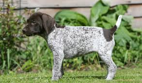 Griffon German Wirehaired Pointer Shedding by German Shorthaired Pointer Dog Breed Information
