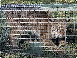 live cat trap how to trap a bobcat trapping tips