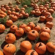 Livermore Pumpkin Patch Farm g u0026m farms 133 photos u0026 107 reviews attraction farms 487 e