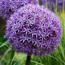 buy ornamental bulb allium globemaster
