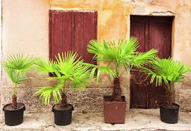 prix des palmiers exterieur palmier en pot extérieur ou intérieur ooreka