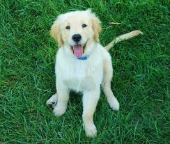 Do Hypoallergenic Dogs Still Shed by Are Golden Retrievers Hypoallergenic Canna Pet