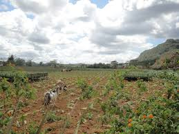 The Area Around Pinar Del Rio And Vinales In Western Half Of Cuba Is Known For Its Tobacco Plantations Fields