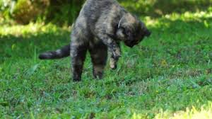 Cat Captures Mole In My Neighbor's Backyard - YouTube How To Get Rid Of Moles Organic Gardening Blog Cat Captures Mole In My Neighbors Backyard Youtube Animal Wikipedia Identify And In The Garden Or Yard Daily Home Renovation Tips Vs The Part 1 Damaging Our Lawn When Are Most Active Dec 2017 Uerstanding Their Behavior Mole Gassing Pests Get Correct Remedy Liftyles Sonic Molechaser Alinum Covers 11250 Sq Ft Model 7900