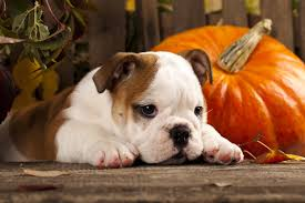 Canned Pumpkin For Dog Constipation by Dog Nutrition Archives Doggy Bakery