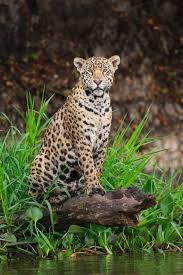 54 best Felidae 20 Jaguar Panthera onca images on Pinterest