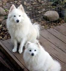 Toy American Eskimo Dog Shedding by American Eskimo Dog Dog Breed Information Puppies U0026 Pictures