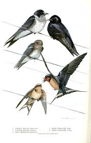 32 Best Birds Birds Birds Images On Pinterest | Barn Swallow ... Bird Nest Idenfication Identify Nests How To Get Rid Of Swallows Best 25 Barn Swallow Ideas On Pinterest Pretty Birds Blue Bird Tree Have Returned From Migration To In Gourds Stained Glass Window March 2017 Cis Corner F June 2012 Nextdoor Nature Stparks Roosting For The Love Birds Easy Tips Attract Swifts And Martins True Life With God Hard Swallow Avian Explorer Blog Archive Babies Cottage Country Reflections Darou Farm Site Demolition Is Hold