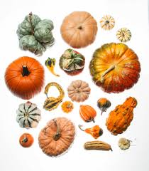 Types Of Pumpkins And Squash by Squash Pumpkins And Gourds Decorate The Harvest Season San