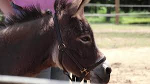Donna Decorates Dallas Full Episodes by Texas Connects Us Taco The Therapy Donkey Nbc 5 Dallas Fort Worth