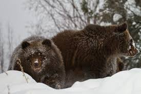 Poacher Kills Grizzly Bear, Orphaned Cubs Adopted By Detroit Zoo ...