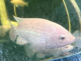 Oasis Farm Fishery On Twitter One Of Our White Nile Tilapia Came In For A Close Up Aquaponics EatSustainable Pittsburgh