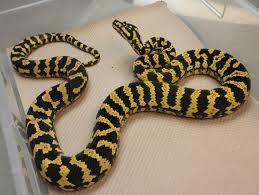Coastal Carpet Python Facts by Diamond Jungle Jaguar Carpet Python Care Sheet Carpet Nrtradiant