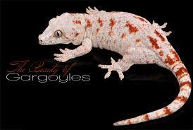 Crested Gecko Shedding Signs by Keeping Gargoyle Geckos