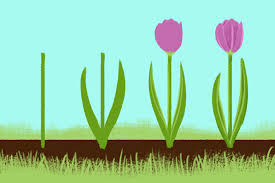 Step By Drawing Of Tulips In A Row