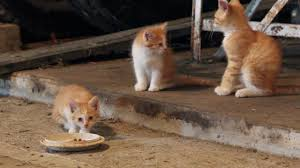Cats Of The Barn - YouTube Ferals Strays And Barn Cats Cat Tales Tuesdays Fun And Aww My Moms Is Gorgeous Viralspell The Care Feeding Of Timber Creek Farm Program Buddies Seeking Support For Its Catsaving Efforts Adoption Barn Cats Near Bardstown Ky Petfinder For Green Rodent Control Turn To Barn Cats The Flying Farmers Free Images Wood Old Animal Cute Wall Pet Rural Sitting On Top Of Bales Straw Ready To Pounce Stock Weve Got Hire Central Missouri Humane Society By Jsf1 On Deviantart
