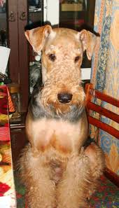 Airedale Terrier Non Shedding by 205 Best Airedale Terrier Images On Pinterest Airedale Terrier