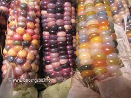 A Glass Gem Corn: The Colorful Harvest - GardenGates: Gardening ... Prettiest Popcorn I Ever Did Grow The Unfettered Fox Glass Gem Corn Littlegirlstory Glass Gem Corn The Cover Of Our Whole Seed Catalog Carls Flint Is An Unbelievably Stunning Bred By Part Hdenosaunee The Iroquois Confederacy Tuscarora White Oliveloaf Design Afbeeldingsresultaat Voor Peru Brazil Colored Pinterest 9 Best Sweetcorn Images On Color 2 Cob And Maze Story Behind Business Insider 1293 Indian Fruit Pink Popcorn
