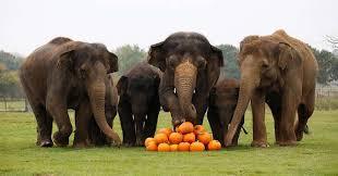 Rhinoceros Smashing Pumpkins Tab by Watch These Elephants Celebrate Halloween By Smashing Pumpkins