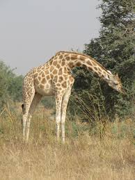 FileWest African Giraffe Near Koure