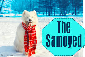Do Samoyeds Shed All The Time by 13 Adorably Cute Dog Breeds That Have Curly Tails