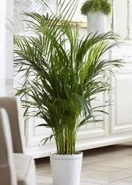 najpiękniejsze palmy doniczkowe areka palme pflege