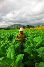 Voyage A Vinales Plantations De Tabac Pinar Del Rio Cuba