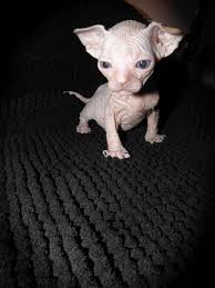hairless cat price sphynx hairless cats sphynx hairless kittens rex cats