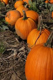 Pumpkin Picking In Chester Nj by The Best Places For Pumpkin Picking In New Jersey Best Of Nj Nj
