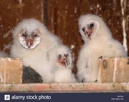 Oakland, Oregon, USA. 1st May, 2016. A Family Of Wild Week-old ... Standing Twelve Weekold Barn Owl Side View Stock Photo Getty Images Boxes South Downs National Park Authority Old Man Of Minsmere Aka John Richardson Gorgeous Birds In Folklore Owls And Ravens Randomdescent Orbit The 5 Weekold Baby Who Has Been Hand Ared By Owl Wikipedia Coda Falconry On Twitter Our 7 Week Old Barn Was Bred At Dont Go Deaf New Zealand Geographic Australian Masked Rescuing Owls Tropic Wonder Audubon Art Print Vintage Nature Bird Eyfs Blog Archive Wise