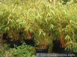 entretien des bambous en pot bambou culture et entretien
