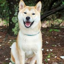 Does Akita Shed A Lot by Learn About The Akita Dog Breed From A Trusted Veterinarian