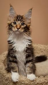 Do Maine Coons Shed Their Mane by 8 Cute Photos Of Cats Snicker Fluffy Cats U0026 Friends Pinterest