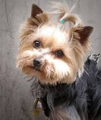 Low Shedding Dogs List by List Of Low Shedding Small Dogs Dogs Known Associates