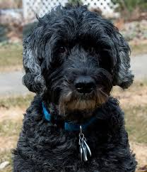 Portuguese Water Dog Non Shedding by 104 Best Portuguese Water Images On Pinterest Portuguese Water