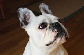 Non Shedding Dog Breeds Small by Are French Bulldogs Hypoallergenic Canna Pet