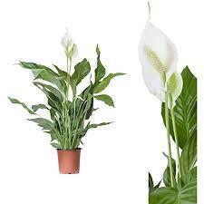 spathiphyllum friedenslilie 50 cm scheidenblatt blattfahne einblatt tropische zimmer pflanzen raum luftreinigend dekorativ
