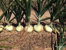 vidalia onions buy vidalia onions home delivery