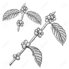 Engraving Coffee Branch Tree Vector Illustration Stock