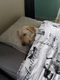 My dog fell asleep on my sisters bed so I tucked her in