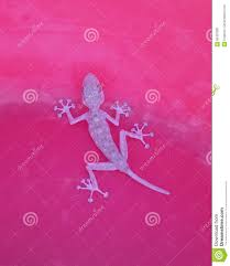 100 Chameleon House Lizard On Red Pink Surface Stock Image