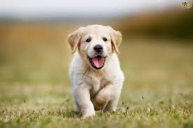 Quiet Small Non Shedding Dog Breeds by Dogs That Don U0027t Bark As Much As Others Pets4homes