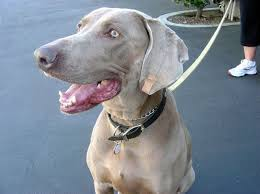 Do Long Haired Weimaraners Shed by Breeds Our Dogs And Us Page 7