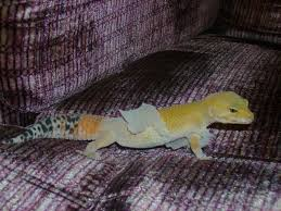 Crested Gecko Shedding Help by Gecko Shed Hotelroomsearch Net