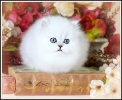 tea cup cat pics photos teacup kittens doll faced chinchilla white