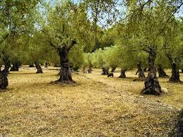 Olive garden stock photo Image of argiculture nature